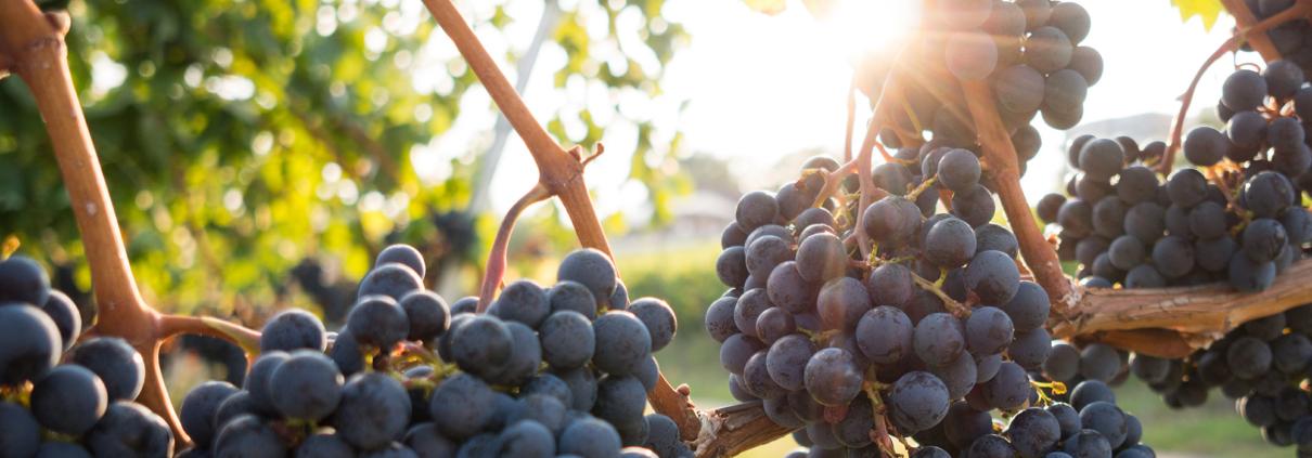 Vineyard | Red wine grapes